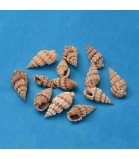 CONCHAS ESPIRAL 10-12 x 19-35 x7-9 MM 25 UD APROX.